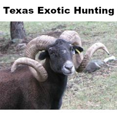 Texas Exotic Hunting with Action Outdoor Adventures